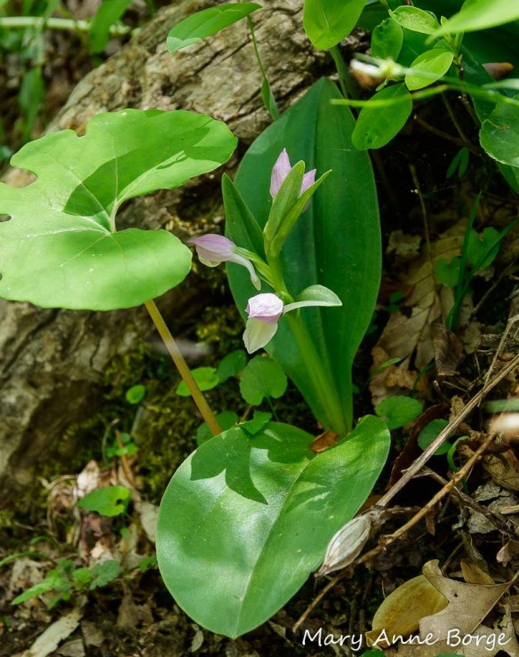 Showy Orchis (Gaelaris spectabilis) in bloom, with Bloodroot (Sanguineria canadensis), Perfoliate Bellwort (Uvularia perfoliata), violets (Viola species) and a fruit capsule