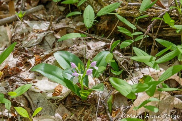 Showy Orchis (Gaelaris spectabilis) in bloom, with Perfoliate Bellwort (Uvularia perfoliata)