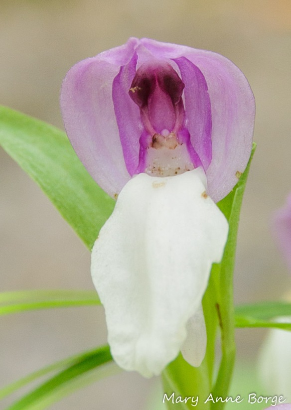 As Showy Orchis (Gaelaris spectabilis) flowers age, their hoods lift, revealing the reproductive parts that were hidden. In this photo, the reproductive parts viewed together look like a boxer whose outsized arms and hands are raised in victory. What appears to be the boxer's body is the rostellum, the stigma is below, as if it were a podium hiding the rest of the boxer's body. The stamens (male reproductive parts) were enclosed in what look like arms, the pollinia in the 'gloves'.