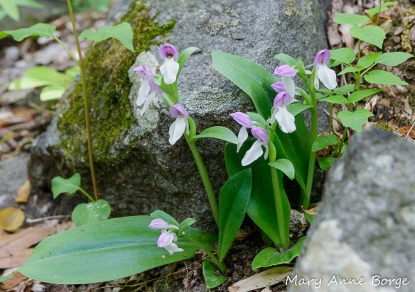 Showy Orchis (Gaelaris spectabilis) in bloom