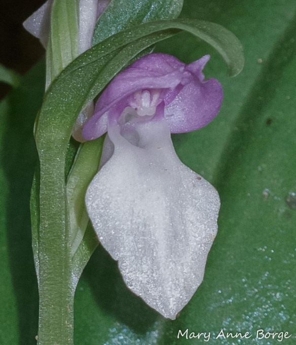 Showy Orchis (Gaelaris spectabilis). The entrance to the nectar spur is at the throat of the flower, just below the hood. The flower's reproductive parts are suspended from the hood. The rostellum is the small projection with two rounded humps. The sheaths that hold the male reproductive parts are above the rostellum, the stigma is behind it.