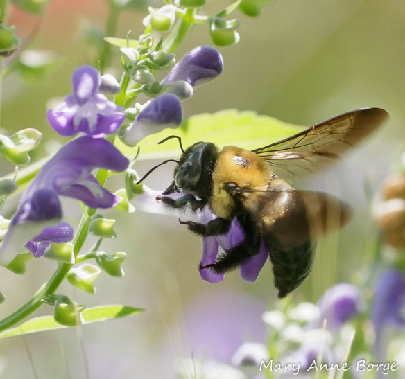 Downy Skullcap (Scutellaria incana) with Eastern Carpenter Bees (Xylocopa virginica) robbing the flower of nectar by biting through the floral tube to drink it.