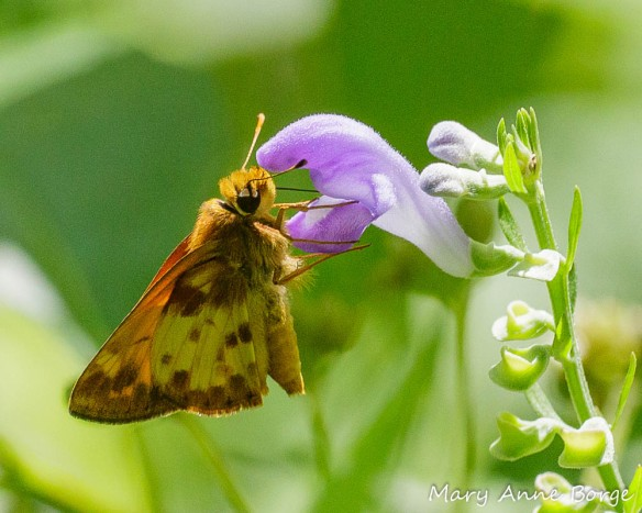 Male Zabulon Skipper drinking nectar from a Downy Skullcap (Scutellaria incana) flower