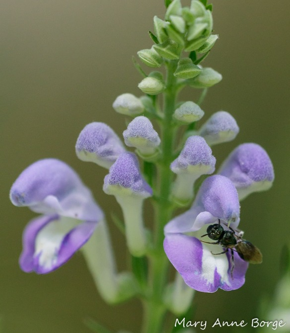 Downy Skullcap (Scutellaria incana) with Small Carpenter Bee (Ceratina species)