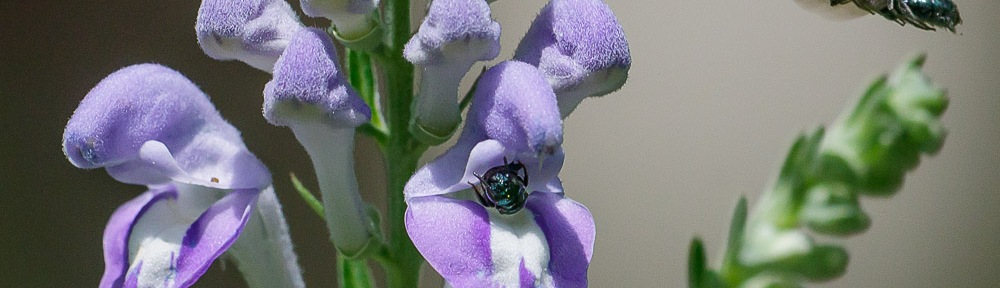 Downy Skullcap (Scutellaria incana) with Small Carpenter Bees (Ceratina species)