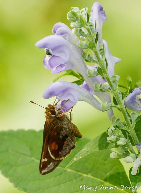 Female Zabulon Skipper drinking nectar from a Downy Skullcap (Scutellaria incana) flower. Notice the bee disappearing into the flower above hers.
