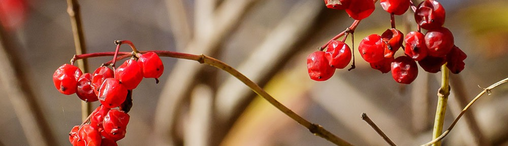 American Cranberrybush (Viburnum opulus var. americanum)