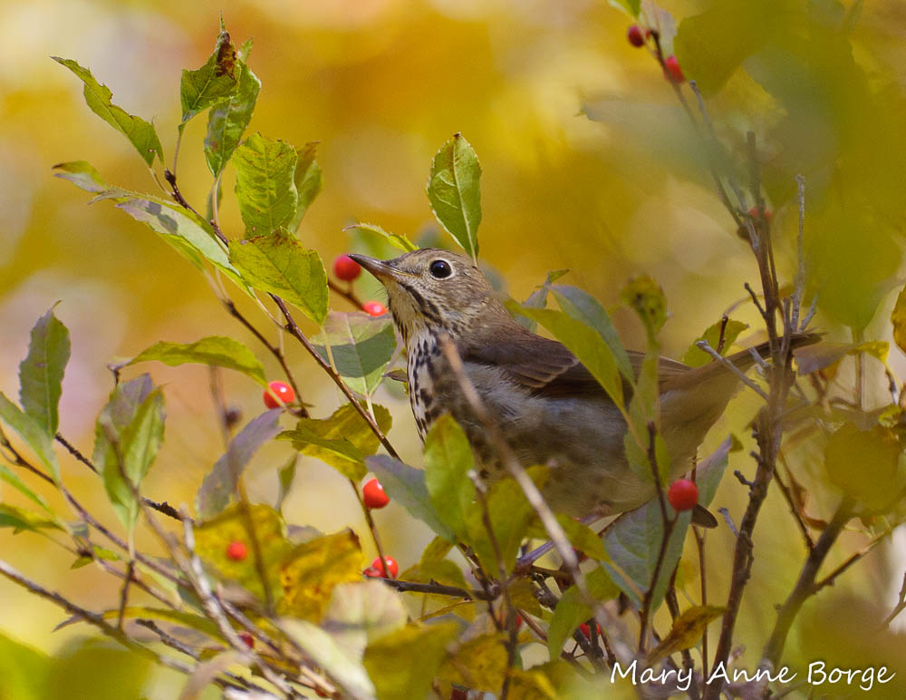 Hermit Thrush sitting in a Winterberry Holly (Ilex verticillata)