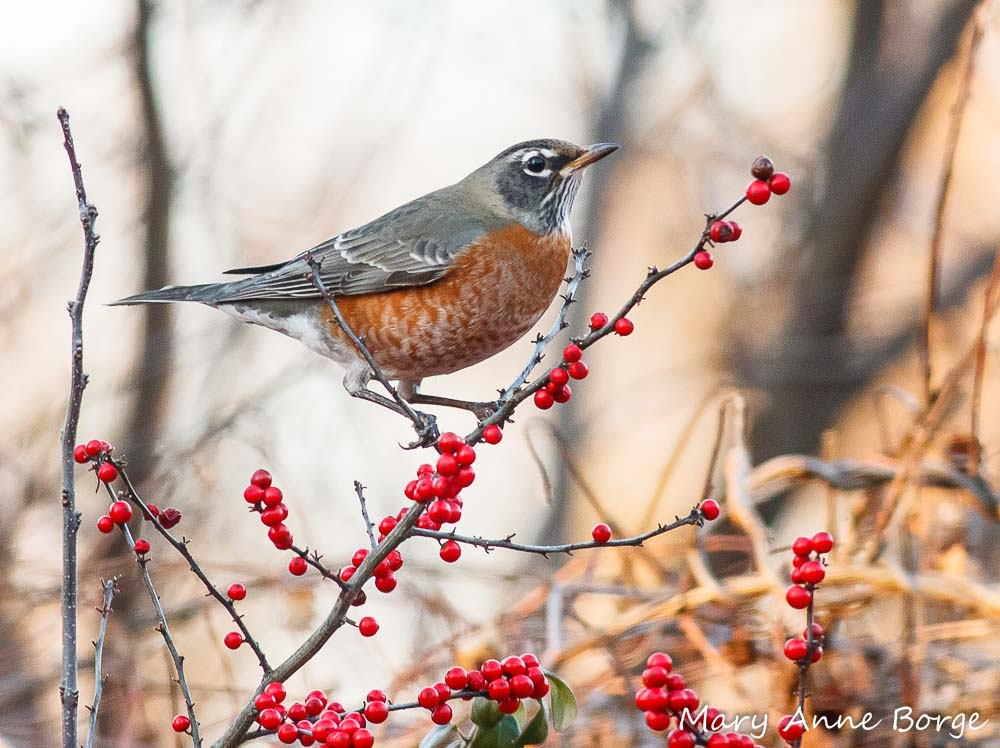 American Robin in Winterberry Holly (Ilex verticillata).  A flock of hungry Robins can strip a shrub of its fruit in a matter of hours.