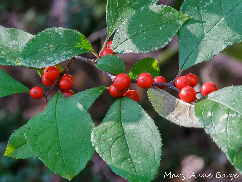 Winterberry Holly (Ilex verticillata) in fruit.