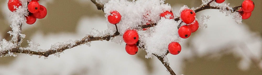 Winterberry Holly (Ilex verticillata) in fruit