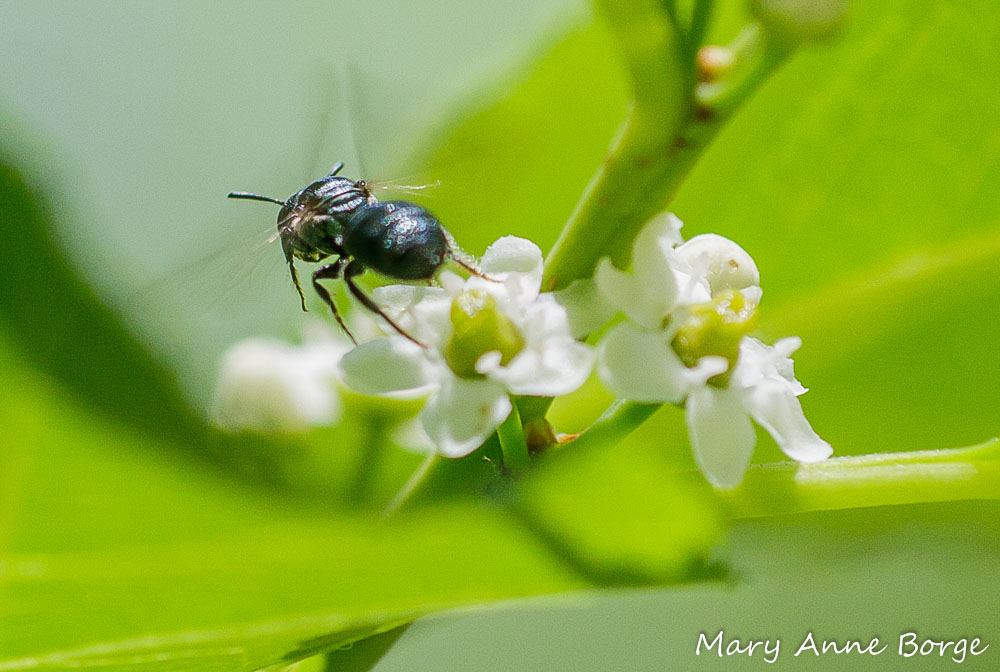 Small Carpenter Bee (Ceratina species) departing from a Winterberry Holly (Ilex verticillata) flower.
