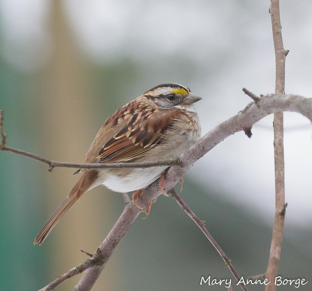 White-throated Sparrows are among the birds that eat Winterberry Holly (Ilex verticillata) fruit.