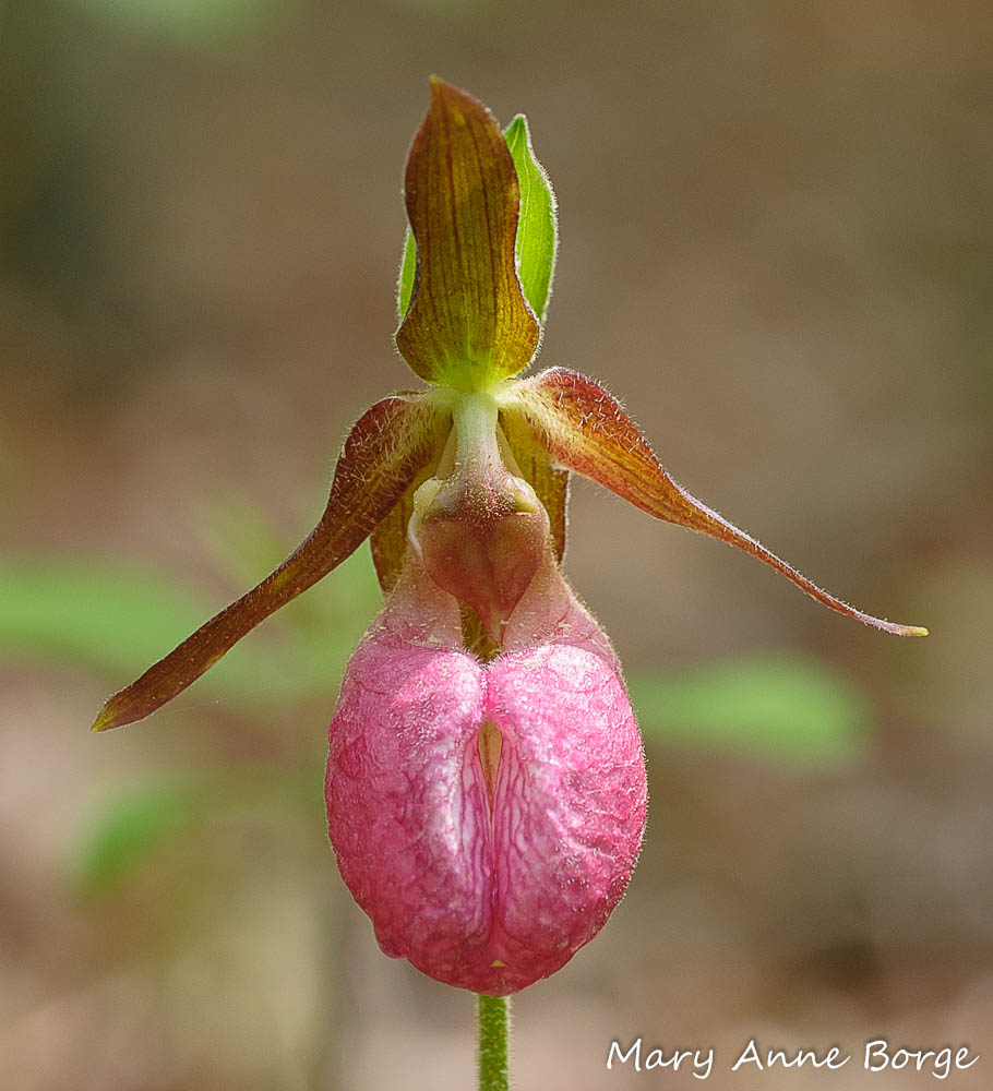 Pink Lady's Slipper orchid (Cypripedium acaule). Queen Bumble Bees enter the flower through the slit bordered by striped veins in the center of the slipper.