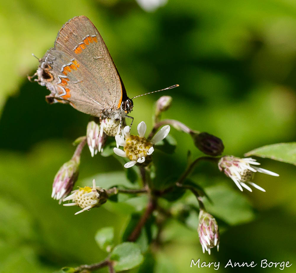 Red-banded Hairstreak on White Wood Aster (Eurybia divaricata) in our shade garden