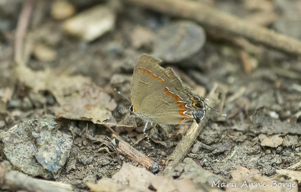 The Red-banded Hairstreak pauses.  Wait! Is she laying an egg?