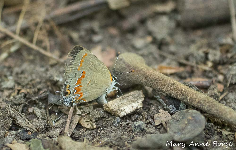 No question this time! This Red-banded Hairstreak is laying an egg. Her curved abdomen is the tell-tale sign.