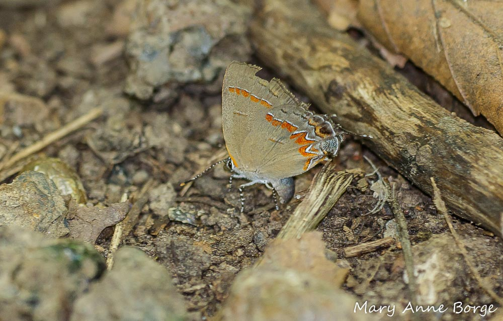 Our Red-banded Hairstreak pauses at another promising spot to lay an egg.