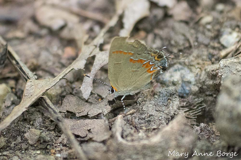 A Red-banded Hairstreak walking on the forest floor